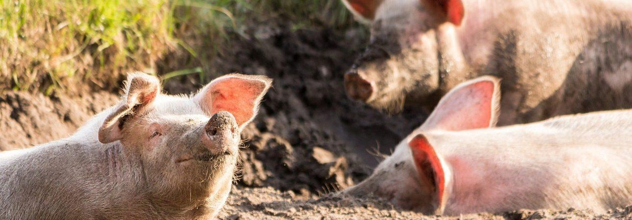 queue-de-cochon